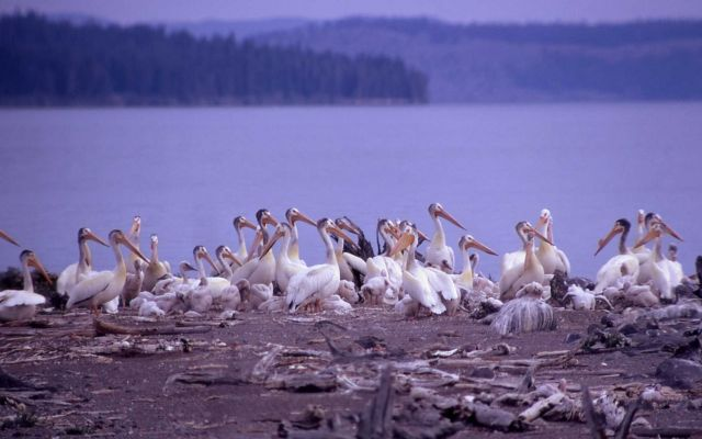 White pelicans & juveniles Picture