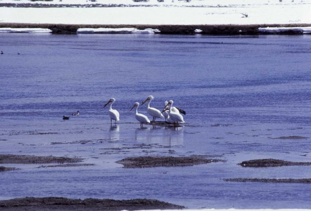 White pelicans in river in winter Picture