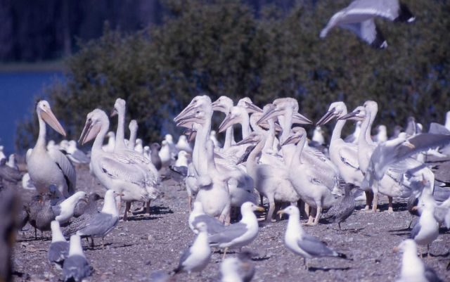 Juvenile White pelicans & adult California gulls on Molly Island Picture