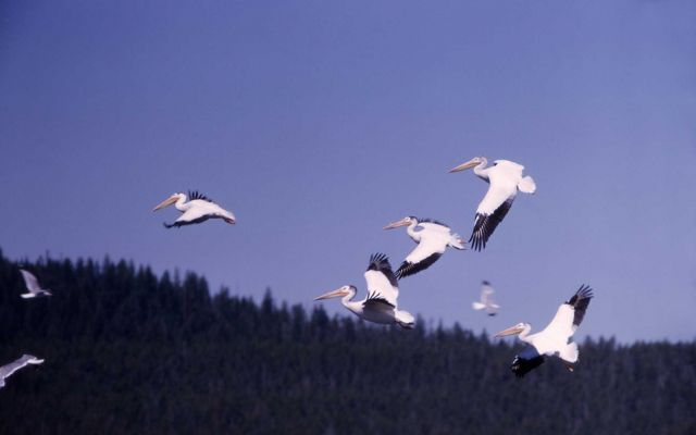 White pelicans in flight Picture