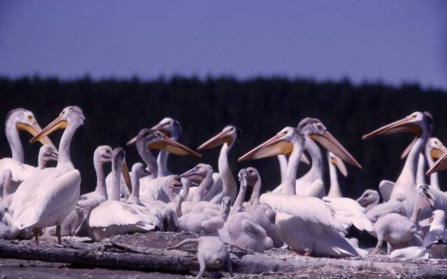 White pelican adults & juveniles Picture