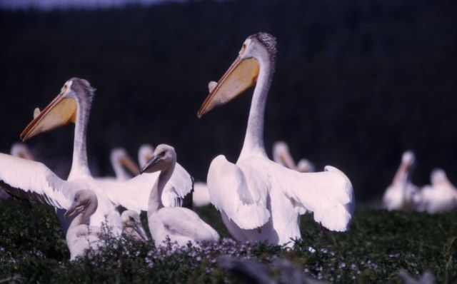 White pelicans nesting Picture