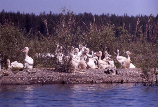 White pelican juveniles on Molly Island Picture