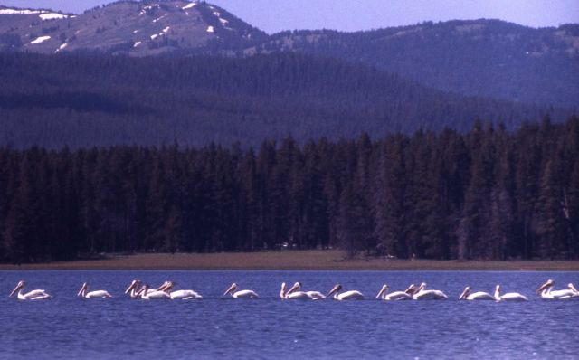 White pelicans at southeast arm Picture