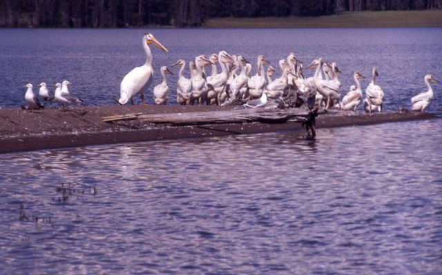 White pelican juveniles, one mature adult & California gulls Picture