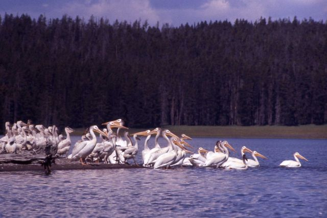 White pelicans & juveniles at southeast arm Picture