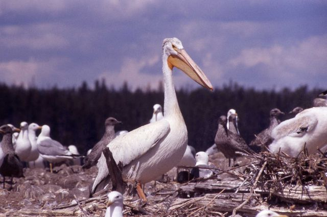 White pelicans & California gulls at southeast arm Picture