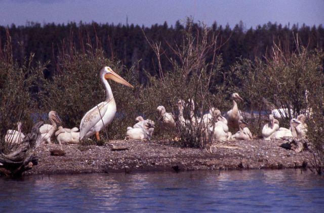 White pelicans & juveniles at southeast arm Picture
