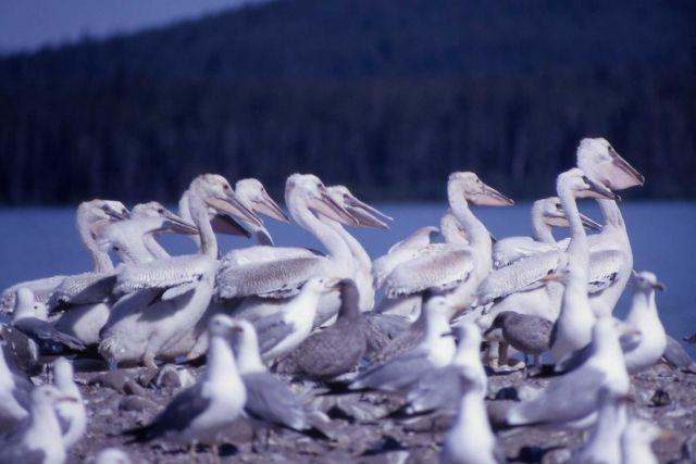 White pelican juveniles & California gulls Picture