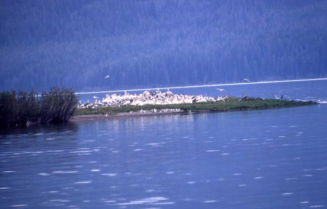 White pelican nesting colony Picture
