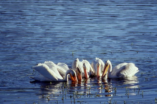 White pelicans in lake feeding on weeds Picture
