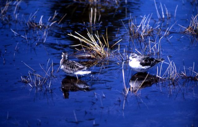 Two Northern Phalaropes with winter plumage Picture