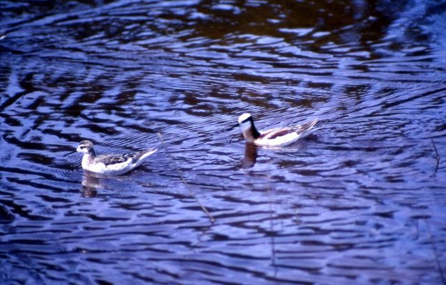 Two Northern Phalaropes Picture
