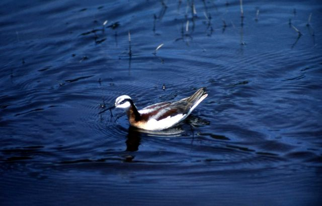 Northern Phalarope with summer plumage Picture