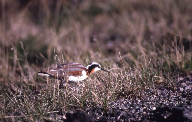Northern Phalarope breeding plumage Picture