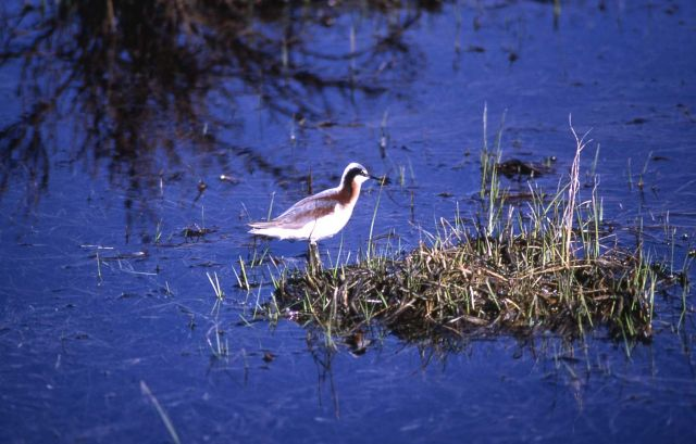 Northern Phalarope Picture