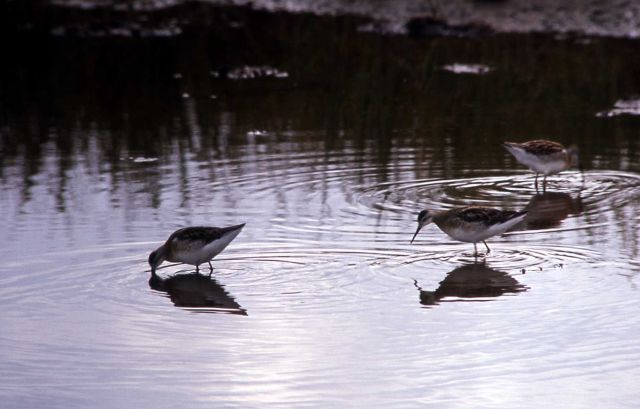 Three Wilson's Phalaropes Picture