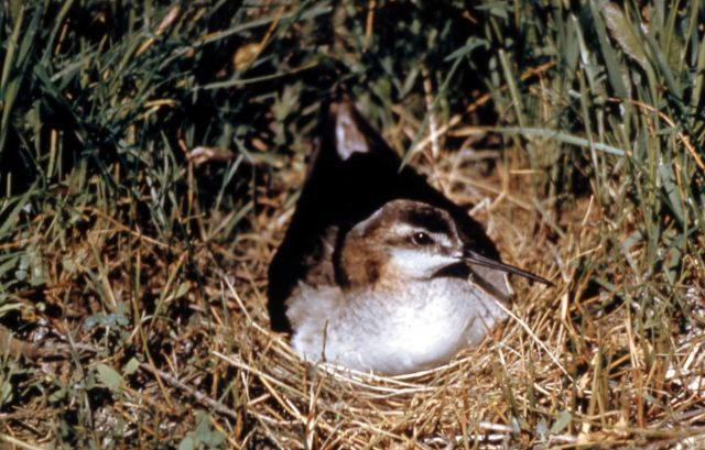Wilson's Phalarope on nest Picture