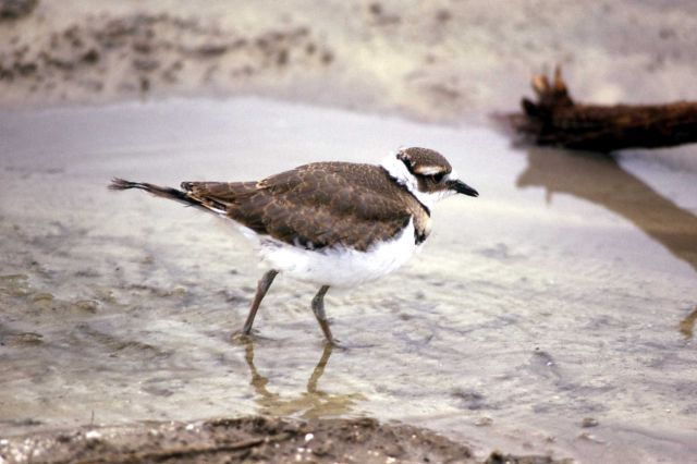 Juvenile Killdeer Picture