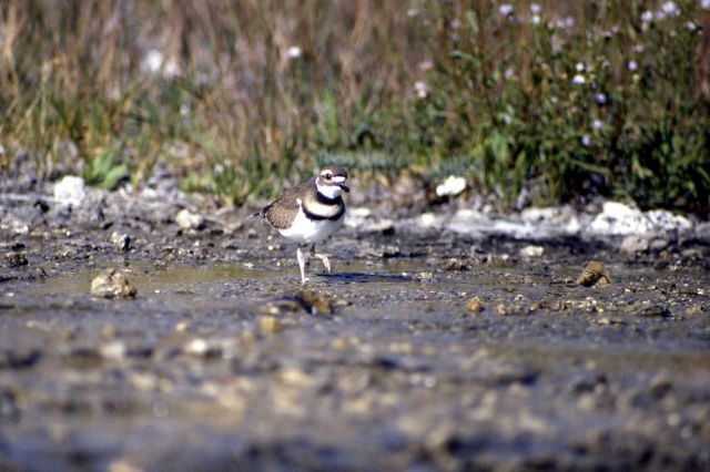 Killdeer on Mammoth Terraces Picture