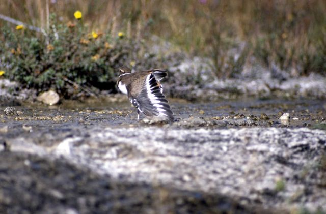 Killdeer feigning a broken wing Picture