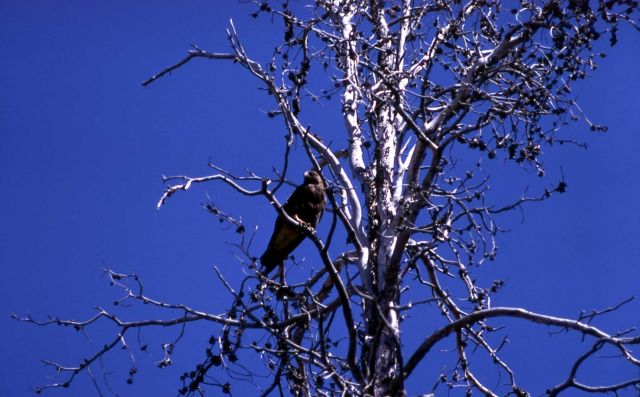 Swainson's Hawk Picture