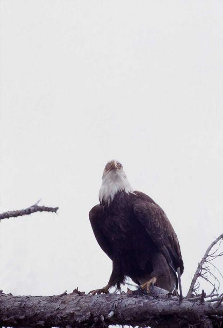 Mature Bald Eagle Picture