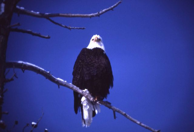Mature Bald Eagle in a tree Picture