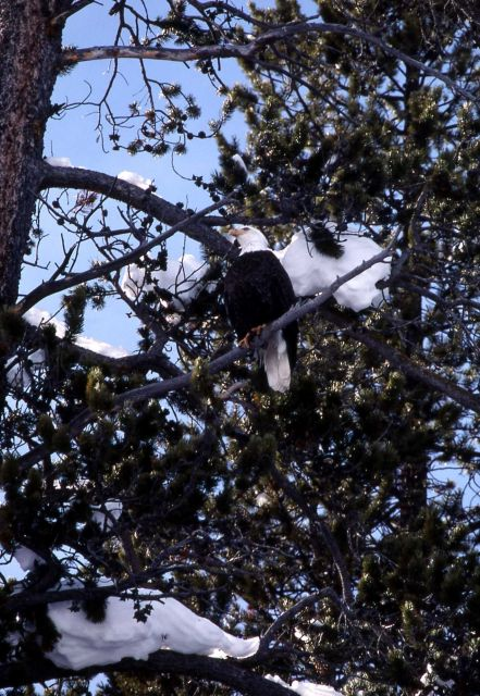 Bald Eagle in a tree along the Yellowstone River Picture
