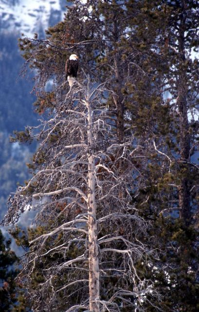Bald Eagle in a tree at the confluence of Soda Butte Creek & Lamar River Picture