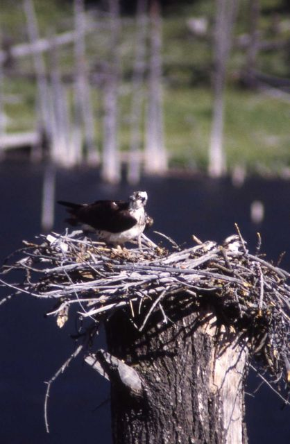 Osprey nest with adult female & chick Picture