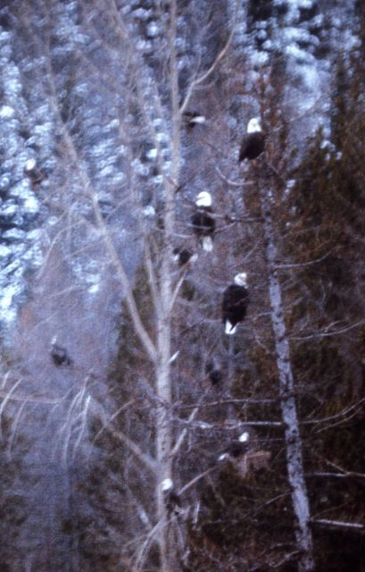 Seven mature Bald Eagles in tree Picture