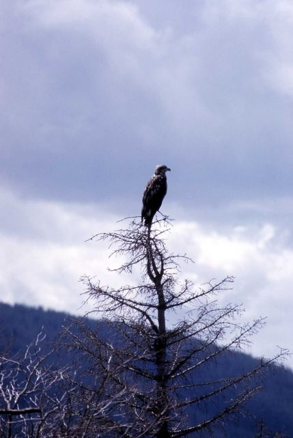 Immature Bald Eagle in a tree Picture