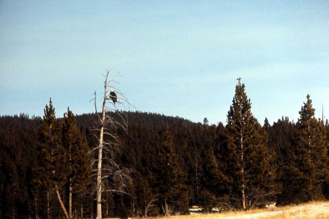 Mature Bald Eagle in a tree near Firehole River Picture