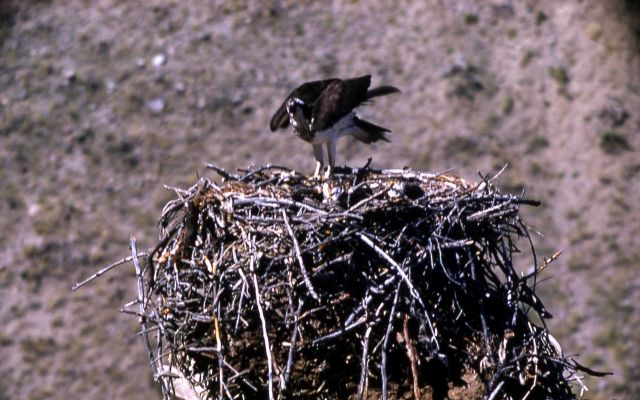 Osprey on nest at Eagle Rock Picture