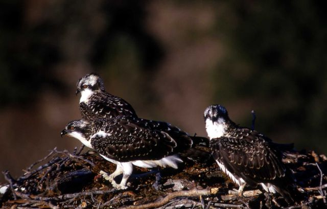 Three Ospreys in a nest Picture