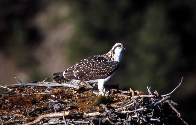 One Osprey in a nest Picture