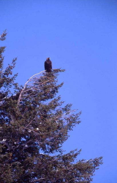 Golden Eagle near Soda Butte Creek Picture