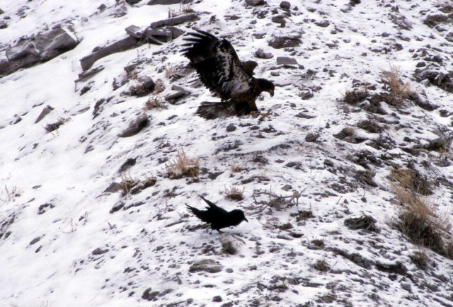 Golden Eagle in the Gardner Canyon Picture