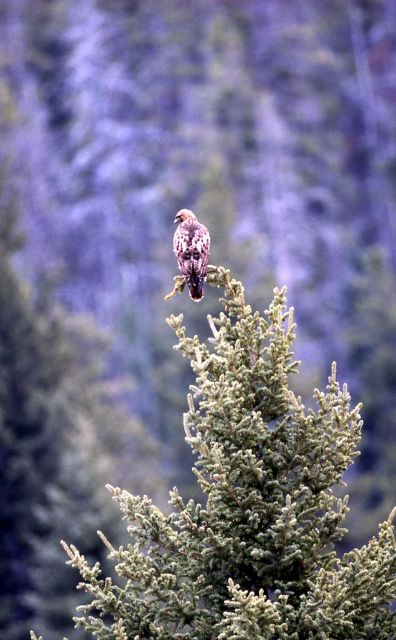 Red-tailed Hawk in Lamar Canyon Picture