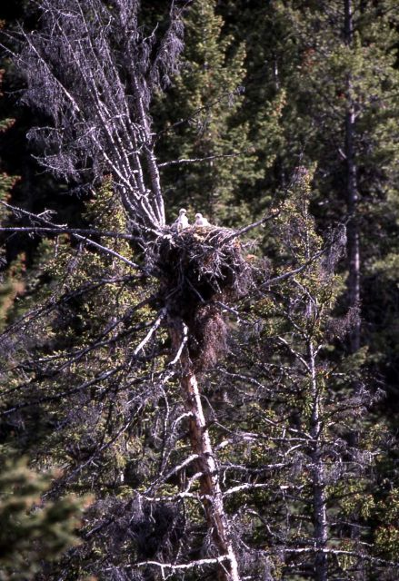 Red-tailed Hawk nest near Tower Junction Picture