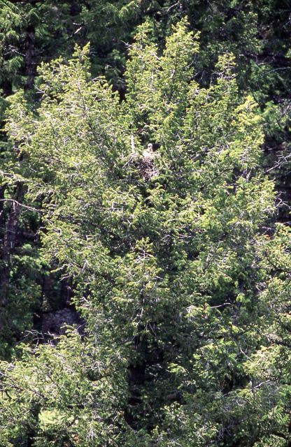 Red-tailed Hawk nest in Lamar Canyon Picture