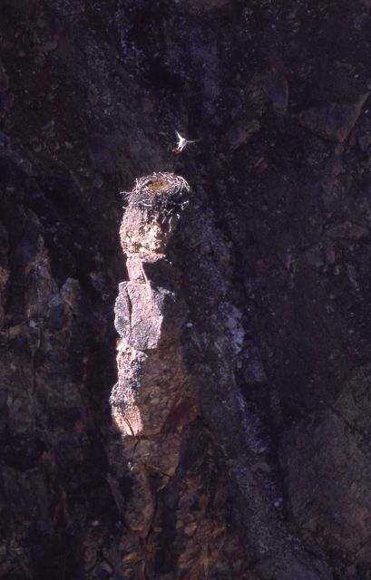 Osprey flying into nest in the Grand Canyon of the Yellowstone Picture