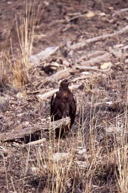 Golden Eagle on log in Lamar Valley Picture