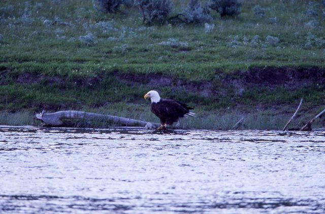 Bald Eagle at rivers edge, Madison River Picture