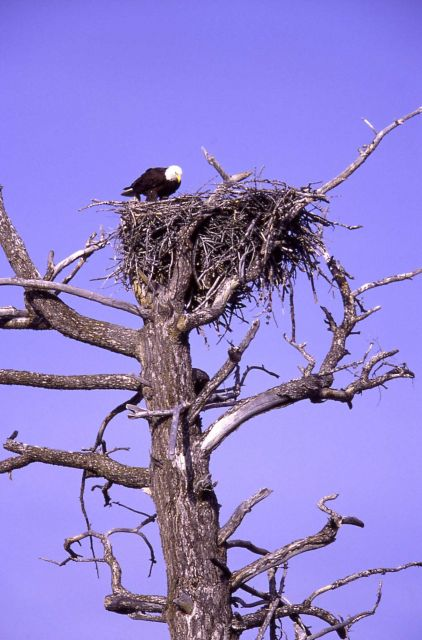Bald Eagle in nest at Madison River Picture