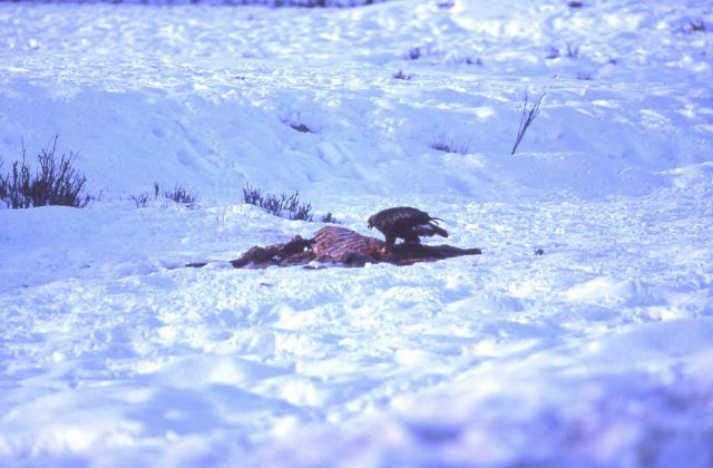 Golden Eagle on elk carcass near Tower Junction Picture