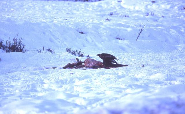 Golden Eagle & Magpie on elk carcass near Tower Junction Picture