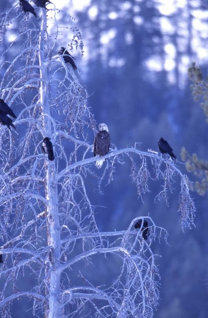 Bald Eagle & Ravens in tree near elk carcass at Tower Junction Picture