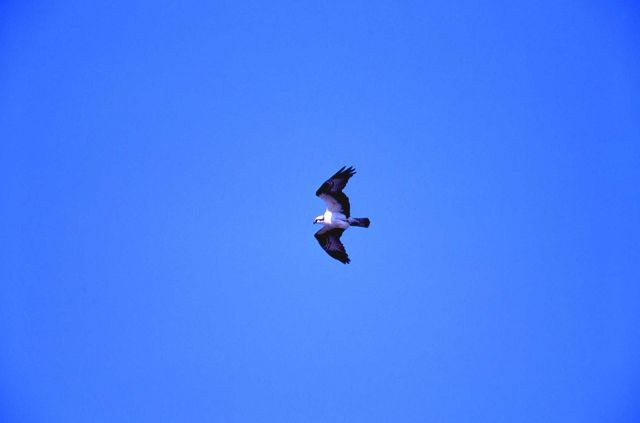 Osprey in flight above Firehole River Picture